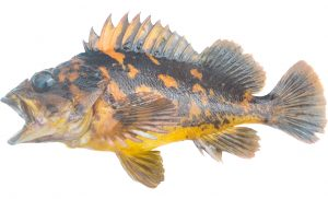Black and Yellow Rockfish