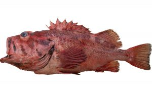 Blackspotted Rockfish