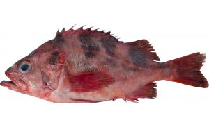 Darkblotched Rockfish