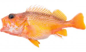 Greenspotted Rockfish