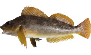 Kelp Greenling (female)