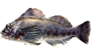 Kelp Greenling (male)