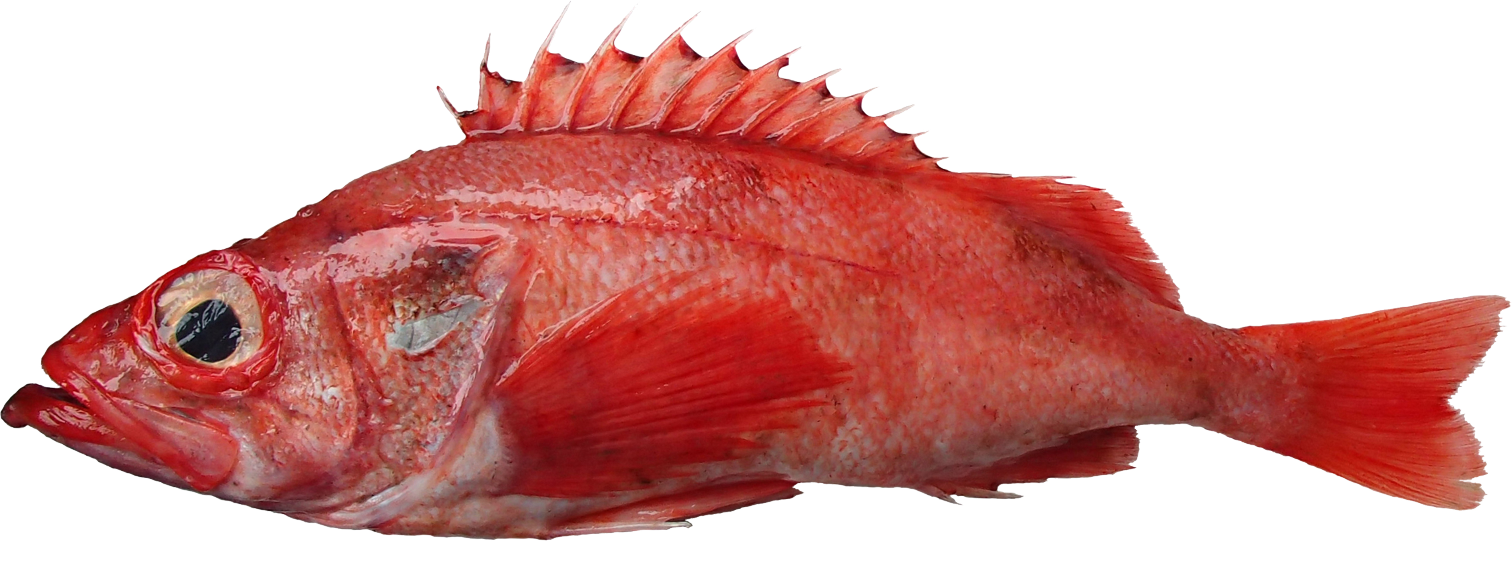 Pacific ocean perch recfin for Ocean perch fish