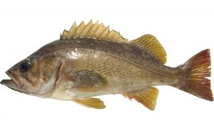 Yellowtail Rockfish