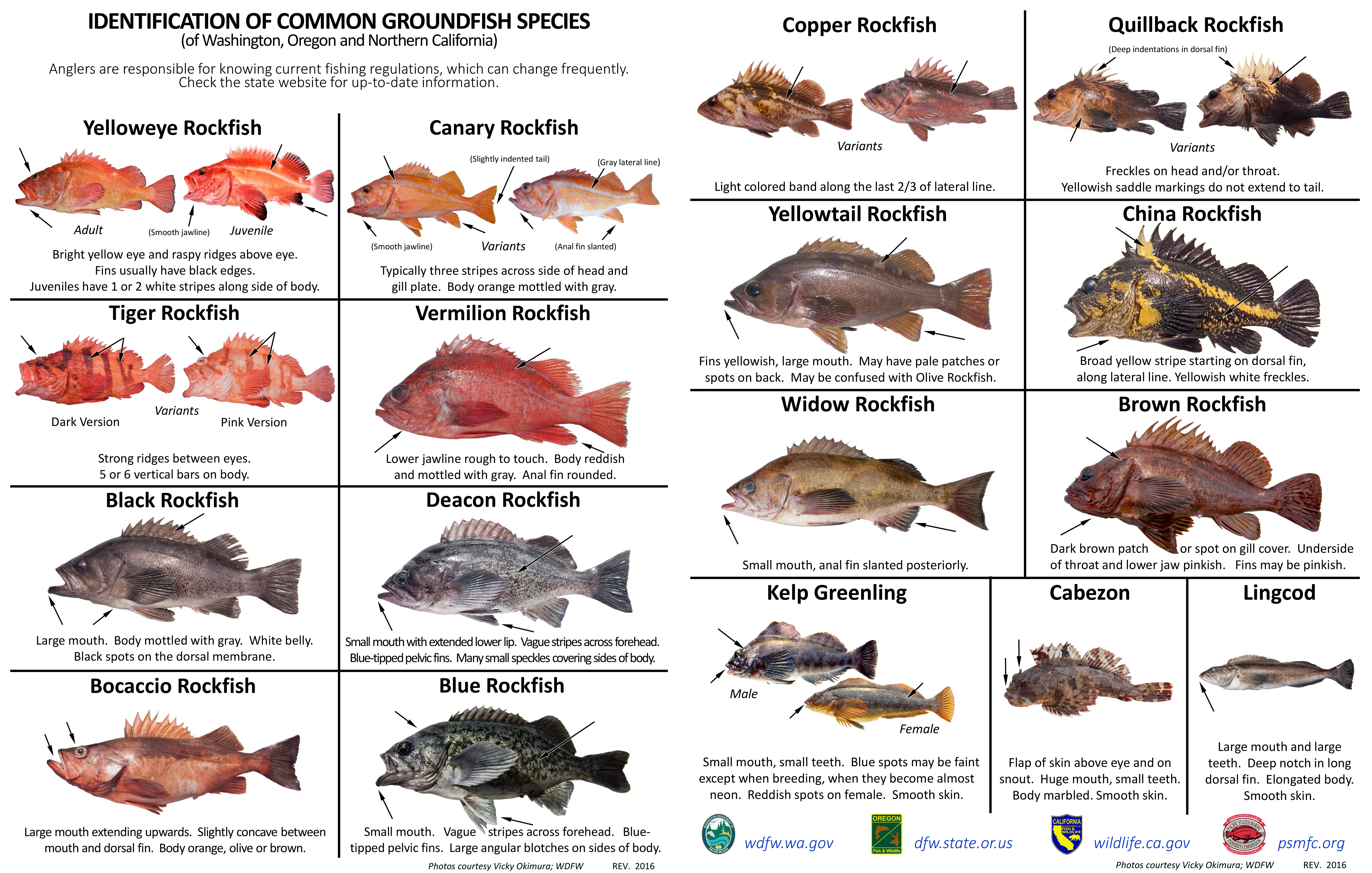 Identification of common groundfish species of washington for California saltwater fish species